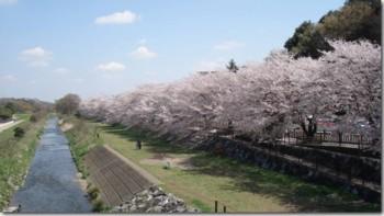 柳瀬川 桜.jpg