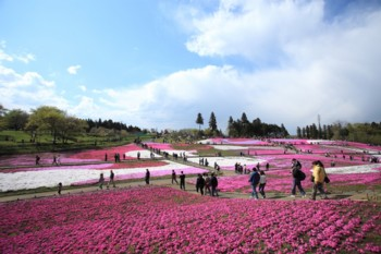 羊山公園の芝桜.jpg