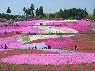 羊山公園の芝桜2.jpg